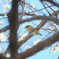 Photos: 2020.02.19 和泉川 梅の枝中にメジロ