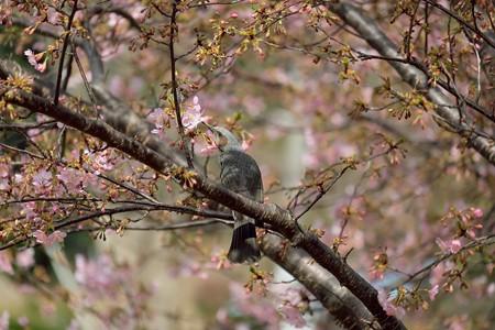 2020.02.20 和泉川 河津桜にヒヨドリ