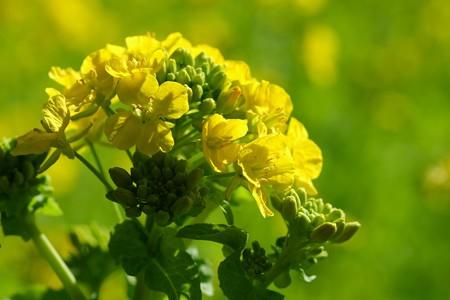 2020.02.23 追分市民の森 菜の花
