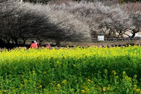2020.02.23 追分市民の森 菜の花と梅 共演