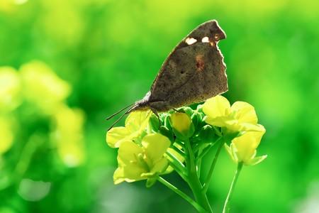 2020.02.23 追分市民の森 菜の花にテングチョウ