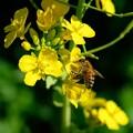 2020.03.01 追分市民の森 菜の花にミツバチ