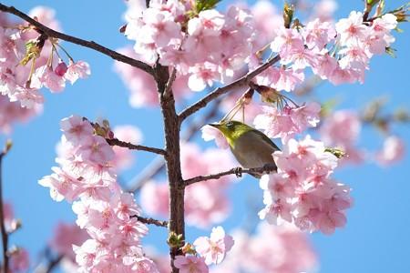 2020.03.03 追分市民の森 河津桜へメジロ