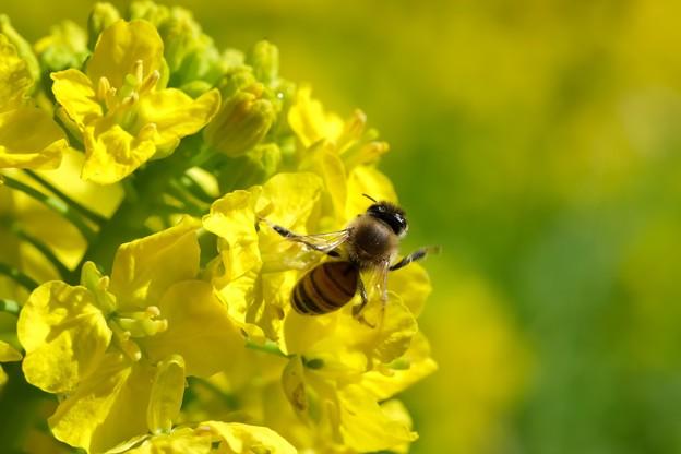 2020.03.03 追分市民の森 菜の花でミツバチ