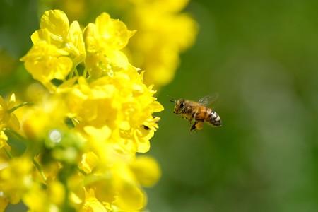 2020.03.03 追分市民の森 菜の花へミツバチ