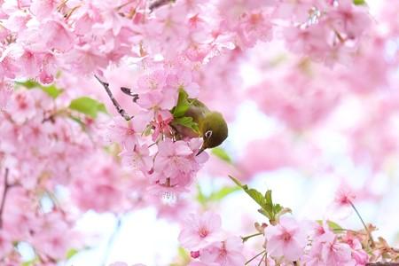 2020.03.05 和泉川 メジロ 花園