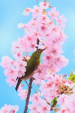 2020.03.05 和泉川 河津桜でメジロ