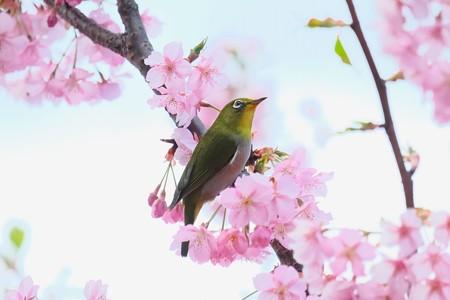 2020.03.05 和泉川 河津桜にメジロ