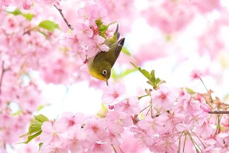 2020.03.05 和泉川 河津桜へメジロ 花から花