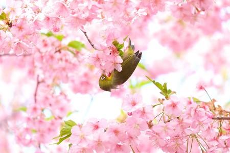 2020.03.05 和泉川 河津桜へメジロ 花の中