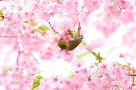 2020.03.05 和泉川 河津桜へメジロ 吸蜜