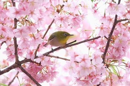 2020.03.07 和泉川 河津桜でメジロ 花見