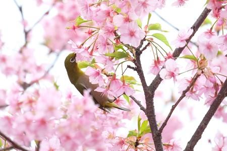 2020.03.07 和泉川 河津桜でメジロ 吸蜜