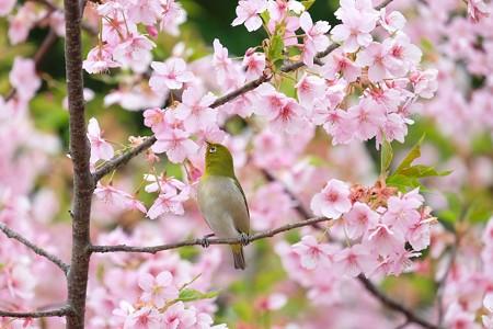 2020.03.07 和泉川 河津桜でメジロ 春