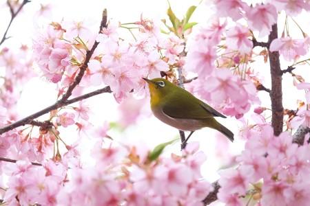 2020.03.07 和泉川 河津桜にメジロ