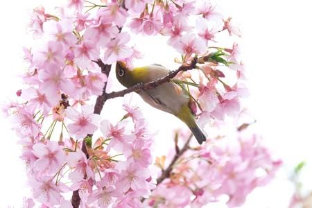 2020.03.07 和泉川 河津桜へメジロ 花輪