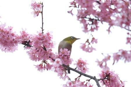 2020.03.07 和泉川 メジロとおかめ桜 アンテナ