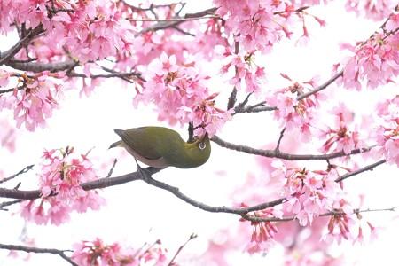 2020.03.07 和泉川 メジロとおかめ桜 ねじる