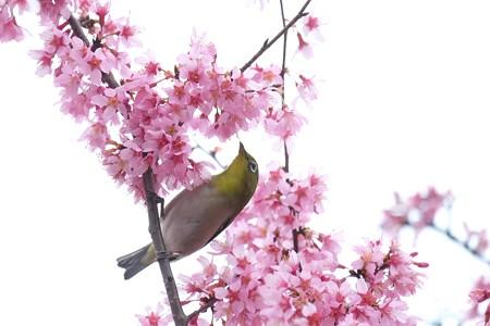 2020.03.07 和泉川 メジロとおかめ桜 ハート