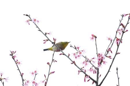 2020.03.07 和泉川 メジロとおかめ桜 バランス