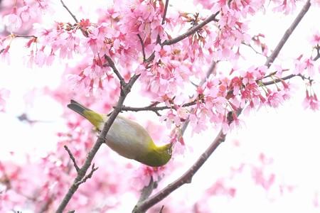 2020.03.07 和泉川 メジロとおかめ桜 みつ