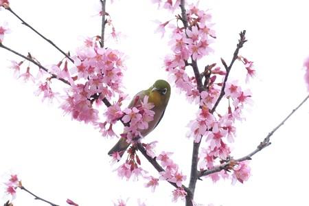 2020.03.07 和泉川 メジロとおかめ桜 花束