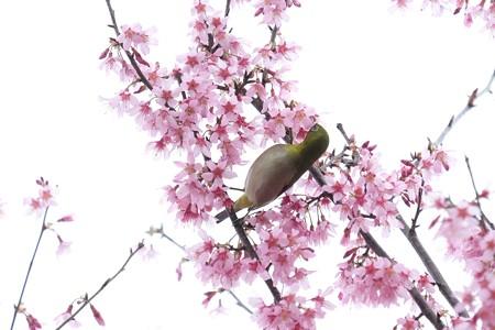 2020.03.07 和泉川 メジロとおかめ桜 吸蜜