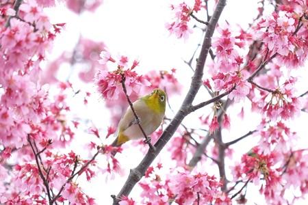 2020.03.07 和泉川 メジロとおかめ桜 見つめる