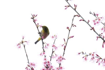 2020.03.07 和泉川 メジロとおかめ桜 生花