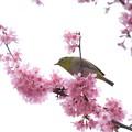 Photos: 2020.03.07 和泉川 メジロとおかめ桜 操縦