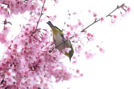 2020.03.07 和泉川 メジロとおかめ桜 探る