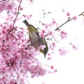 Photos: 2020.03.07 和泉川 メジロとおかめ桜 探る