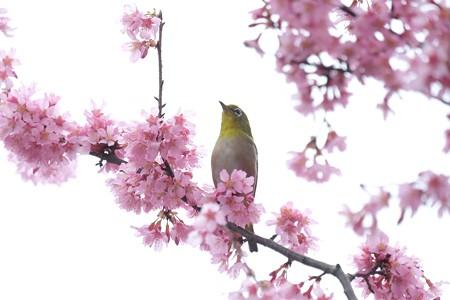 2020.03.07 和泉川 メジロとおかめ桜 展望