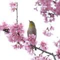 Photos: 2020.03.07 和泉川 メジロとおかめ桜 展望