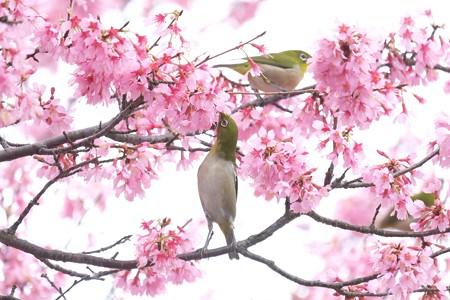 2020.03.07 和泉川 メジロとおかめ桜 背伸び
