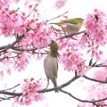 Photos: 2020.03.07 和泉川 メジロとおかめ桜 背伸び