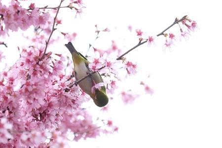 2020.03.07 和泉川 メジロとおかめ桜 味わう