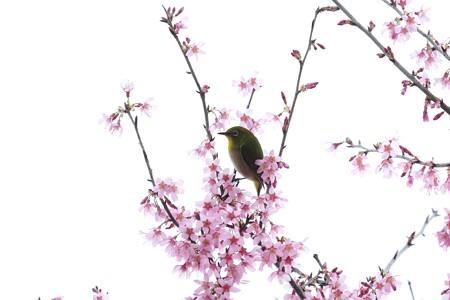 2020.03.07 和泉川 メジロとおかめ桜 佇む