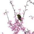 Photos: 2020.03.07 和泉川 メジロとおかめ桜 佇む