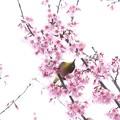 Photos: 2020.03.07 和泉川 メジロとおかめ桜