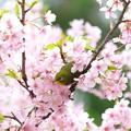 Photos: 2020.03.07 和泉川 メジロと河津桜 ヒョコ