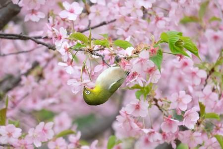2020.03.07 和泉川 メジロと河津桜 美味