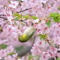 Photos: 2020.03.07 和泉川 メジロと河津桜 美味