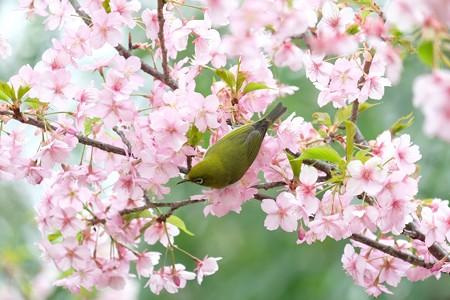 2020.03.07 和泉川 メジロと河津桜