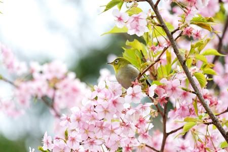 2020.03.07 和泉川 メジロと河津桜 望む