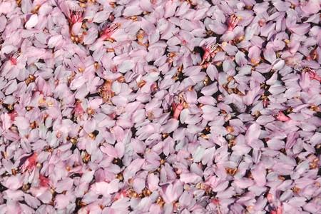 2020.03.11 和泉川 雨上がり おかめ桜