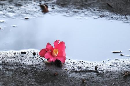 2020.03.11 和泉川 雨上がり 椿