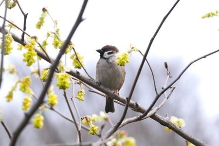 2020.03.13 和泉川 土佐水木にスズメ