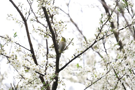 2020.03.15 和泉川 李でメジロ