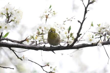 2020.03.15 和泉川 李のりメジロ